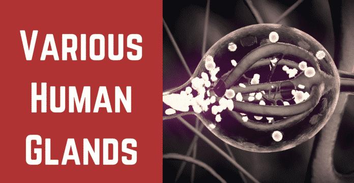 (Human Glands in Hindi)